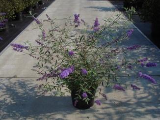 Buddleja davidii 'Nanho Blue' | Vlinderstruik (12L pot)
