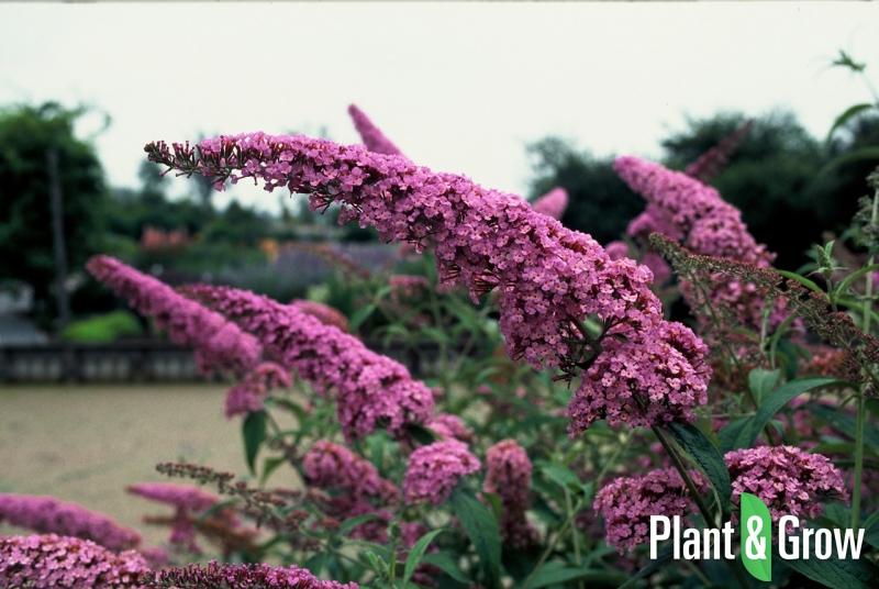 Buddleja davidii 'Pink Delight' | Vlinderstruik