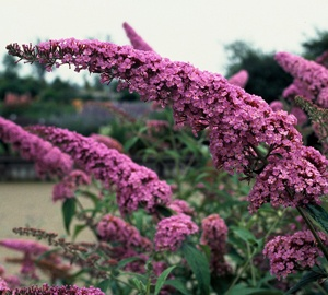 Buddleja davidii 'Pink Delight' Vlinderstruik