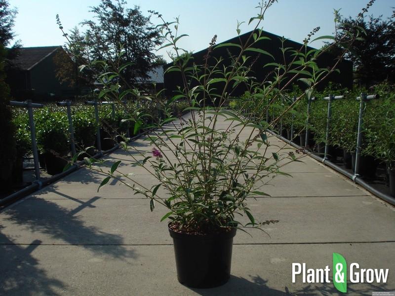 Buddleja davidii  u0026#39;Royal Red u0026#39;   Vlinderstruik kopen?   Plant  u0026 Grow