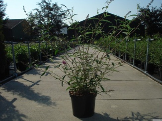 Buddleja davidii 'Royal Red' | Vlinderstruik (12L pot)