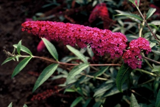 Buddleja davidii 'Royal Red' | Vlinderstruik