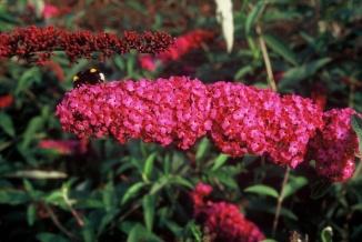 Buddleja davidii 'Royal Red' | Vlinderstruik