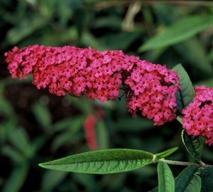 Buddleja davidii 'Royal Red' Vlinderstruik