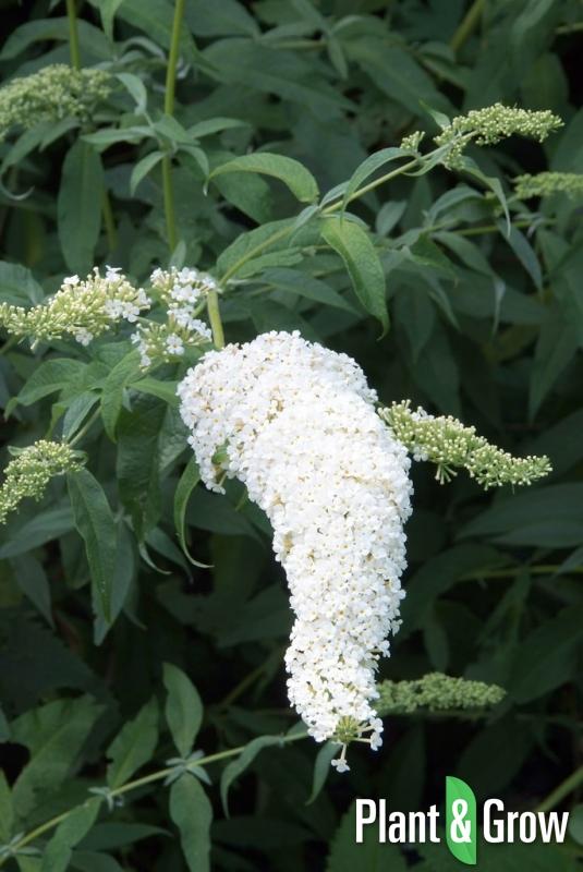 Buddleja davidii 'White Profusion' | Vlinderstruik