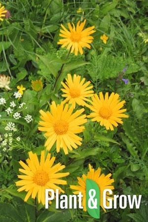 Buphthalmum salicifolium | Koeienoog