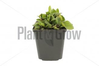 Buphthalmum salicifolium | Koeienoog (pot 9x9cm) - VOORJAAR