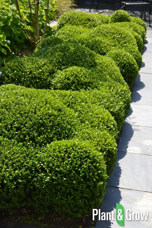 Buxuswolk van de Buxus microphylla 'Faulkner' | Palmboompje