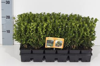 Buxus microphylla 'Faulkner' | Palmboompje (Ø 7cm pot)