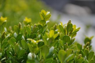 Buxus microphylla 'Faulkner' | Palmboompje