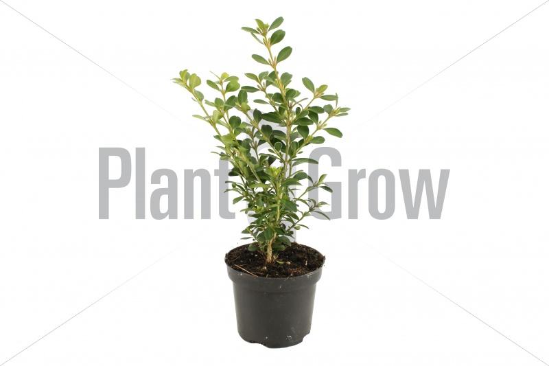Buxus microphylla 'Herrenhausen'   Palmboompje (Ø 9cm pot)