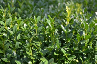Buxus sempervirens | Palmboompje