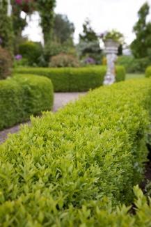Buxus sempervirens | Palmboompje