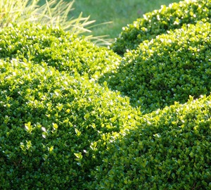 Buxus sempervirens Palmboompje