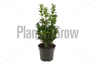 Buxus sempervirens | Palmboompje (Ø 9cm pot)