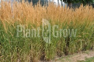 Calamagrostis acutiflora 'Karl Foerster' | Pluimstruisriet