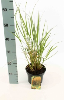 Calamagrostis acutiflora 'Karl Foerster' | Pluimstruisriet (Ø 17cm pot)