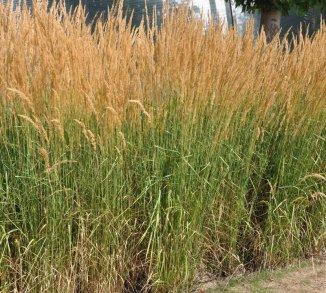 Calamagrostis acutiflora 'Karl Foerster' Pluimstruisriet