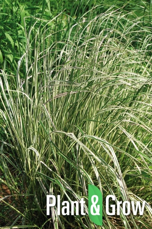 Calamagrostis acutiflora 'Overdam' | Pluimstruisriet