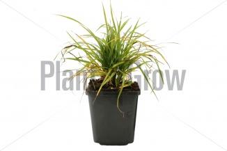 Calamagrostis brachytricha - Diamantgras (pot 9x9cm)
