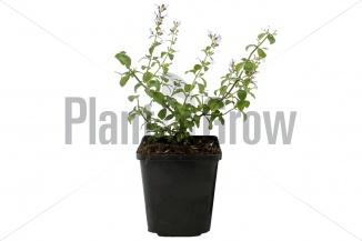 Calamintha nepeta ssp nepeta | Bergsteentijm (pot 9x9cm)