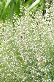 Calamintha nepeta ssp nepeta | Bergsteentijm