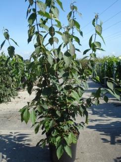 Callicarpa bodinieri 'Profusion' | Schoonvrucht (12L pot)