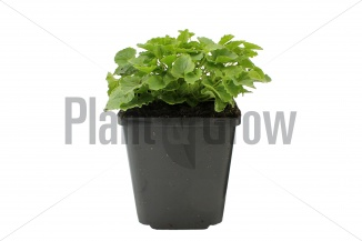 Campanula carpatica 'Alba' | Karpatenklokje (pot 9x9cm) - VOORJAAR