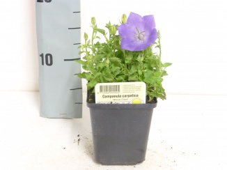 Campanula carpatica 'Blaue Clips' | Karpatenklokje (pot 9x9cm)