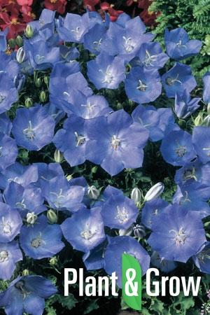 Campanula carpatica 'Blaue Clips' | Karpatenklokje