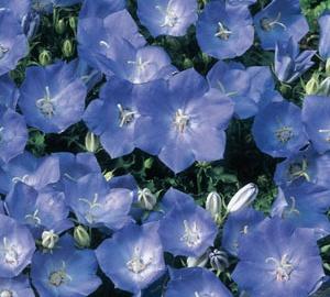 Campanula carpatica 'Blaue Clips' Karpatenklokje