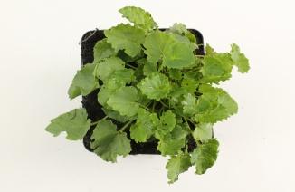 Campanula carpaticac| Karpatenklokje (pot 9x9cm)