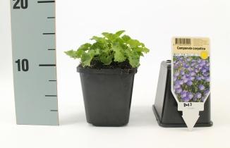 Campanula carpaticac| Karpatenklokje (pot 9x9cm) - VOORJAAR