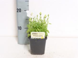 Campanula carpatica 'Weisse Clips' | Karpatenklokje (pot 9x9cm)