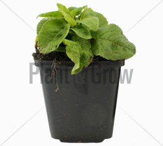 Campanula glomerata 'Alba' | Kluwenklokje (pot 9x9cm)