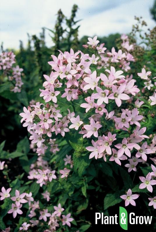 Campanula lactiflora 'Loddon Anna' | Klokjesbloem