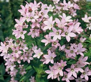 Campanula lactiflora 'Loddon Anna' Klokjesbloem