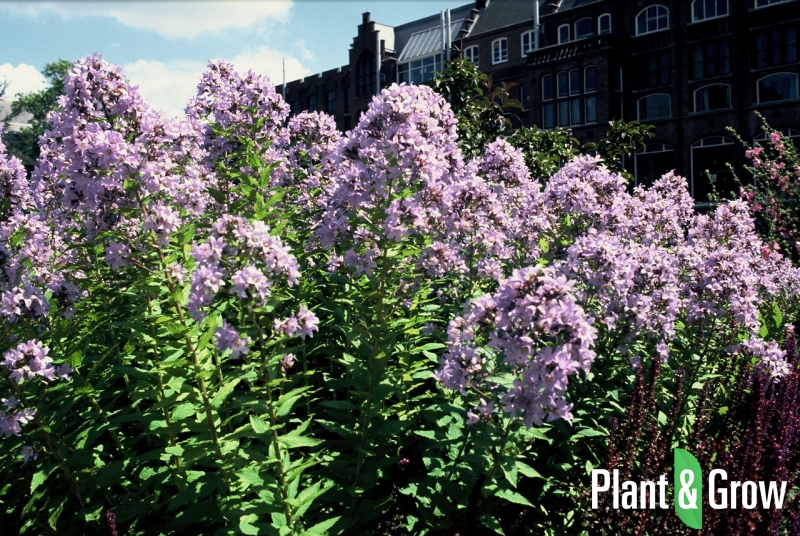 Campanula lactiflora 'Prichard's Variety' | Klokjesbloem