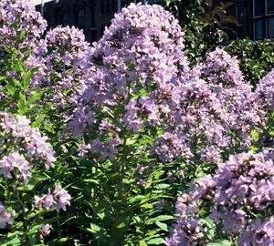 Campanula lactiflora 'Prichard's Variety' Klokjesbloem