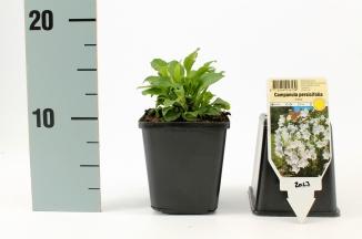 Campanula persicifolia 'Alba' | Perzikbladklokje (pot 9x9cm)
