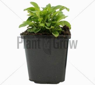 Campanula persicifolia 'Coerulea' | Perzikbladklokje (pot 9x9cm)