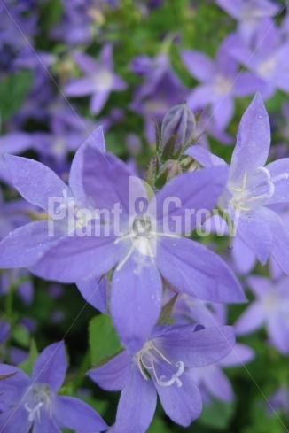 Campanula portenschlagiana | Klokjesbloem