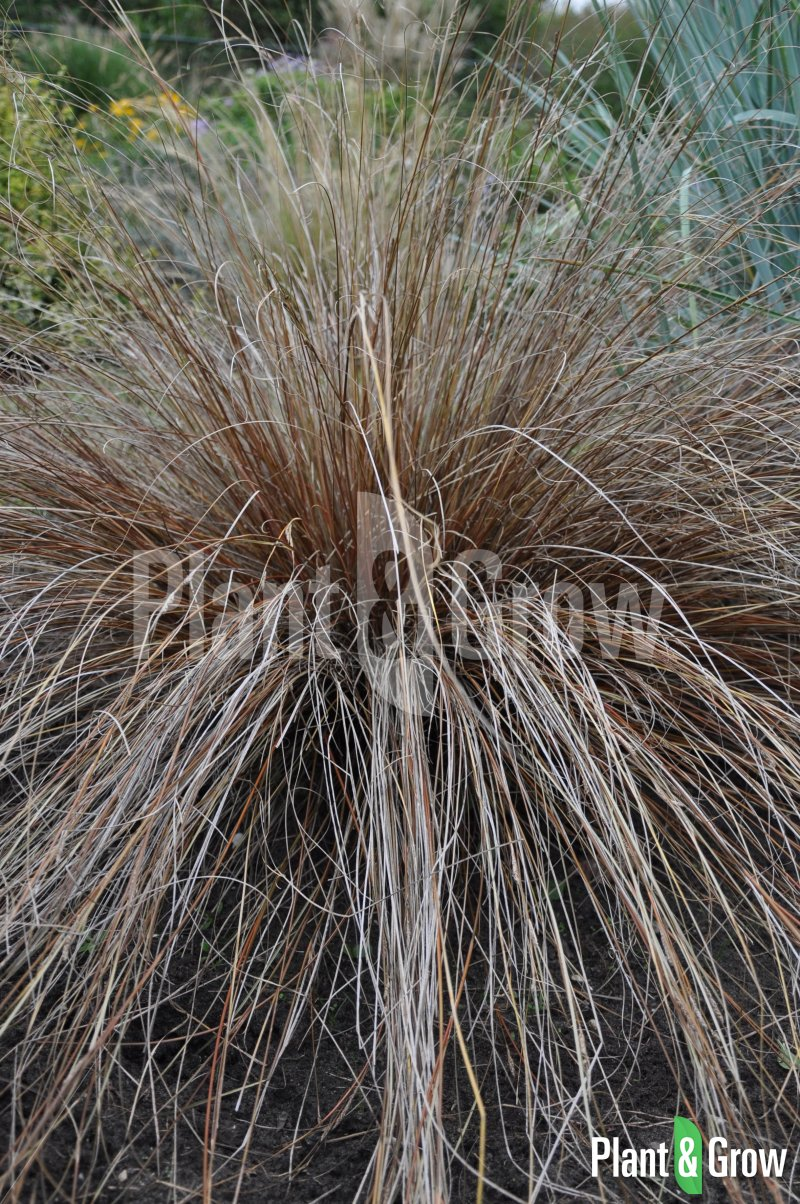Carex buchananii | Zegge