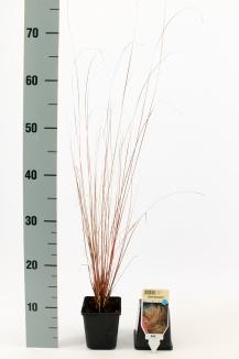 Carex buchananii | Zegge (pot 9x9cm)