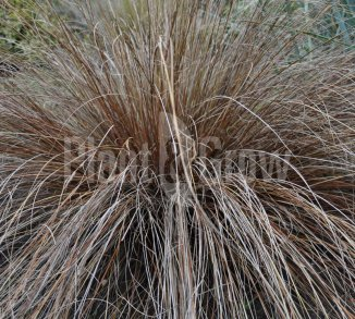 Carex buchananii  Zegge
