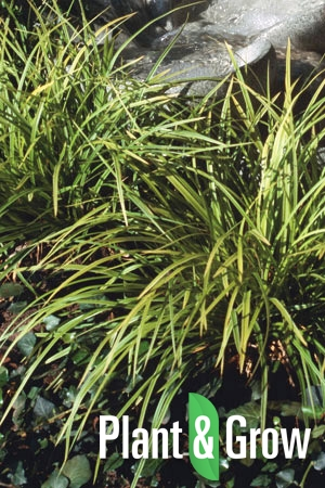 Carex caryophyllea 'The Beatles' | Zegge