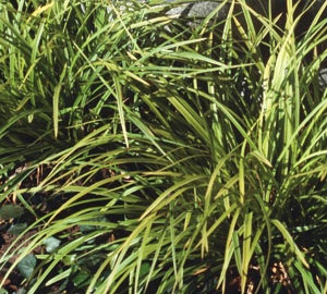 Carex caryophyllea 'The Beatles'