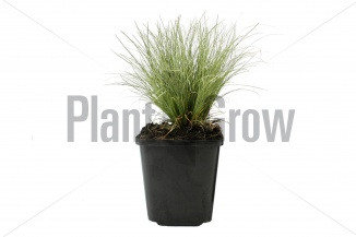 Carex comans 'Frosted Curls' | Zegge (pot 9x9cm)