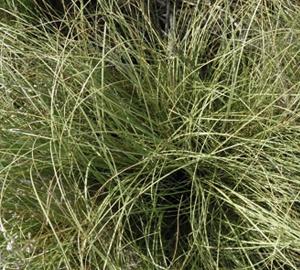 Carex comans 'Frosted Curls' Zegge