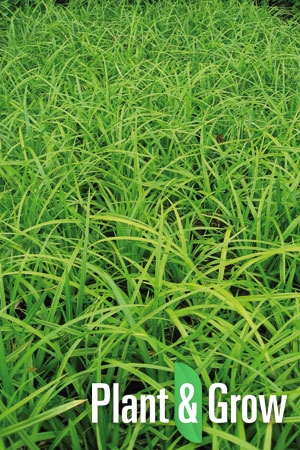 Carex foliosissima 'Irish Green' | Zegge